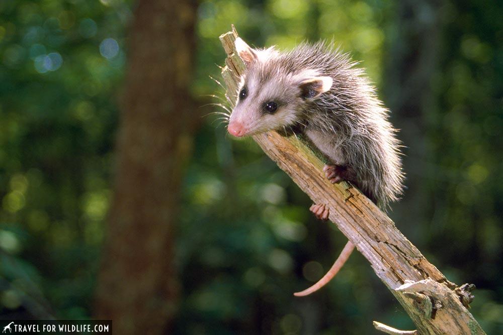 Opossum or possum?