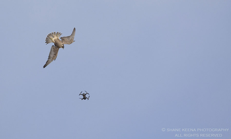 Drone and bird of prey