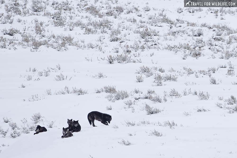 Lamar canyon wolf pack, Yellowstone