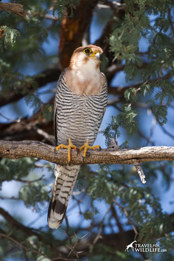 Birding in the Kalahari