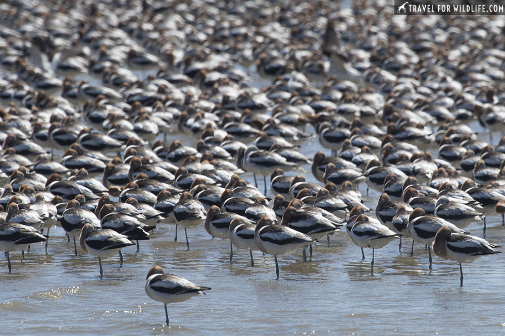 American avocets resting on the shoreline