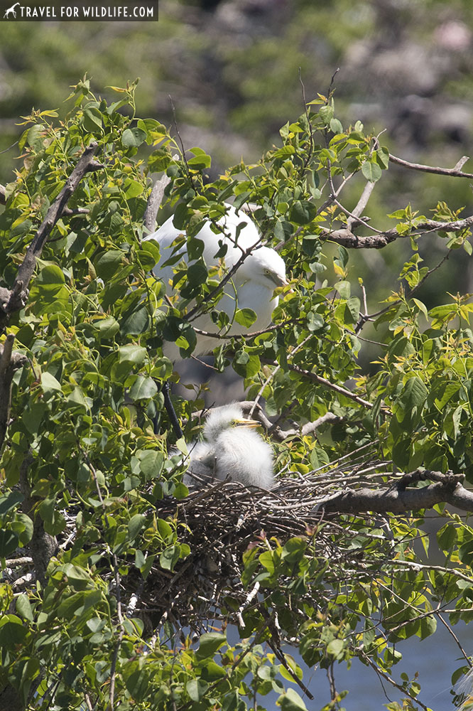 Great egret with baby egret at nest at Smith Oaks rookery