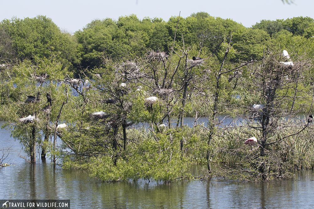 Nesting sites at a rookery at Smith Oaks Bird Sanctuary