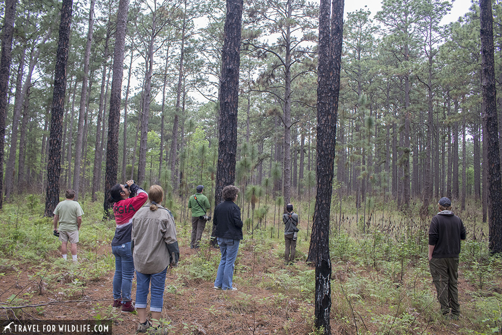 Birdwatchers looking for birds in the pine forest