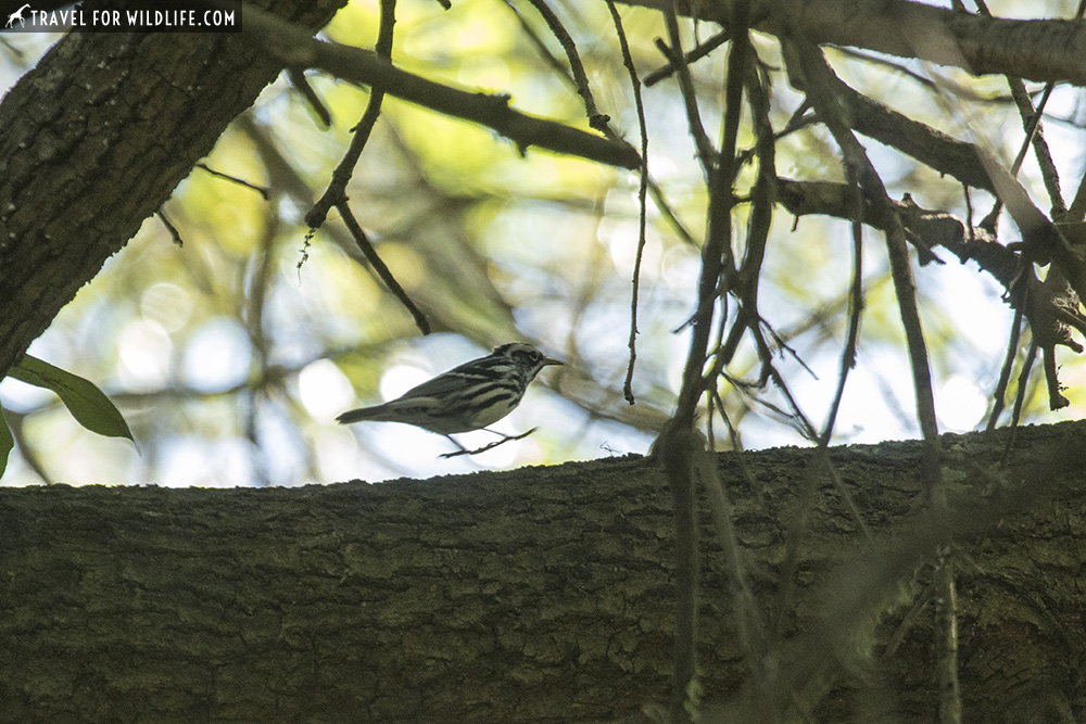 Black and white warbler on a log