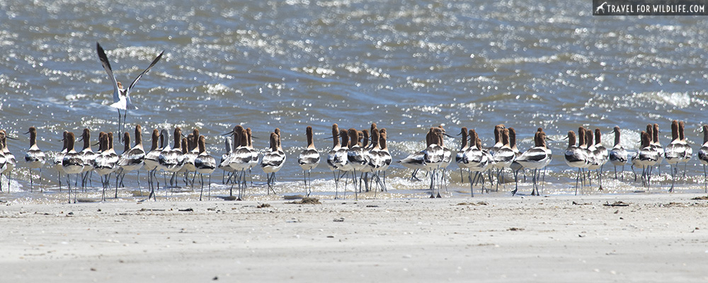 American avocets at the shore