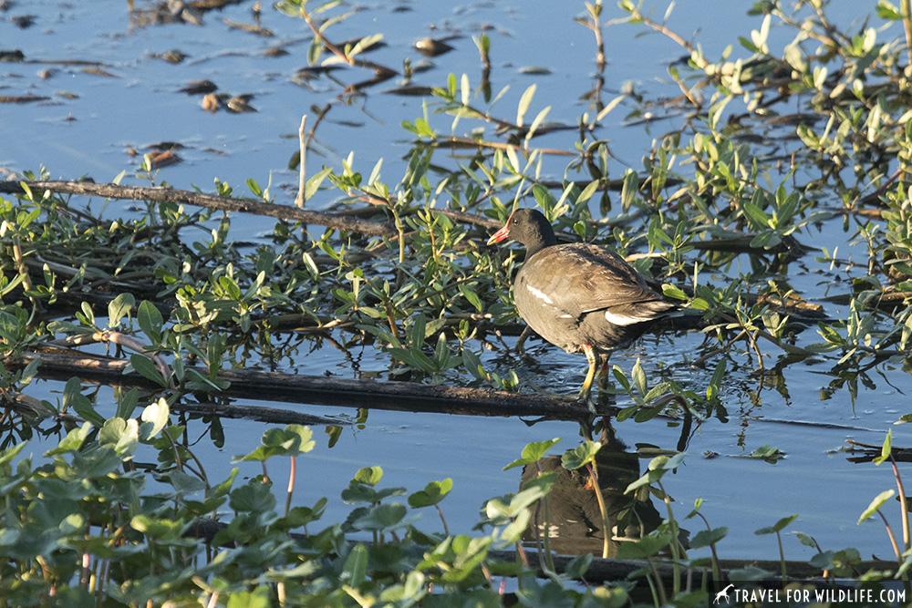 Common gallinule walking on water