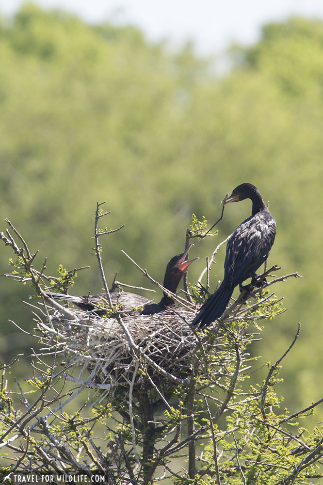 Cormorant mating pair at a nest