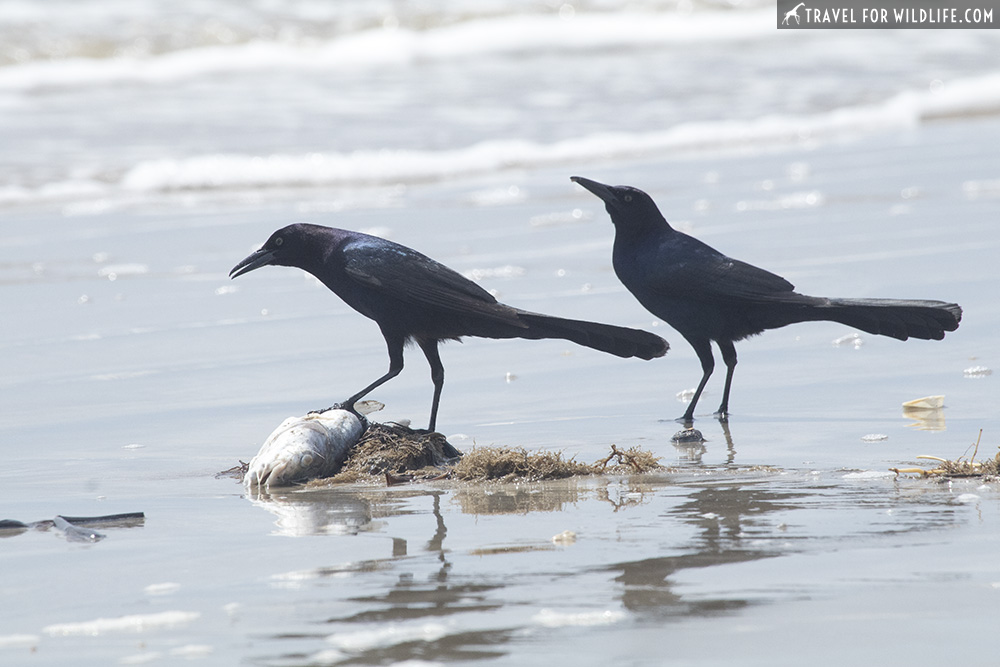 Two grackles feeding on a fish