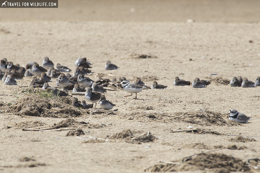 piping plover and sandpipers