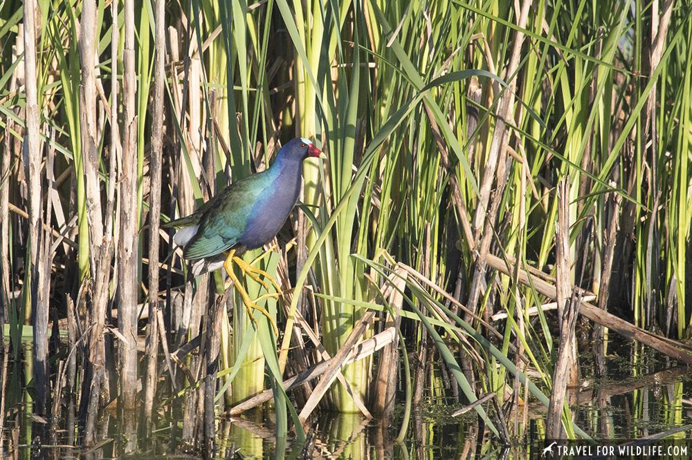 Purple gallinule on reeds