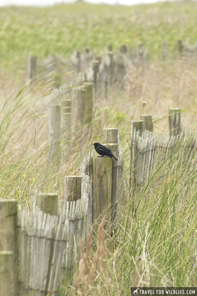 A red winged blackbird sitting on a fence