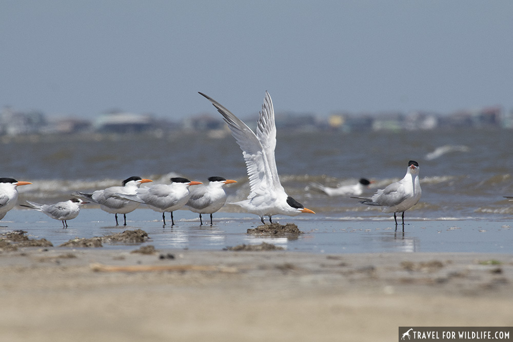 Flock of Royal terns on the shore