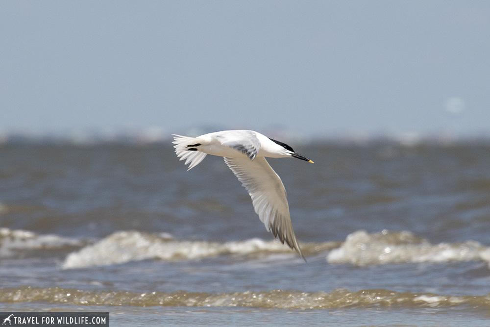 Sandwich tern flying over water