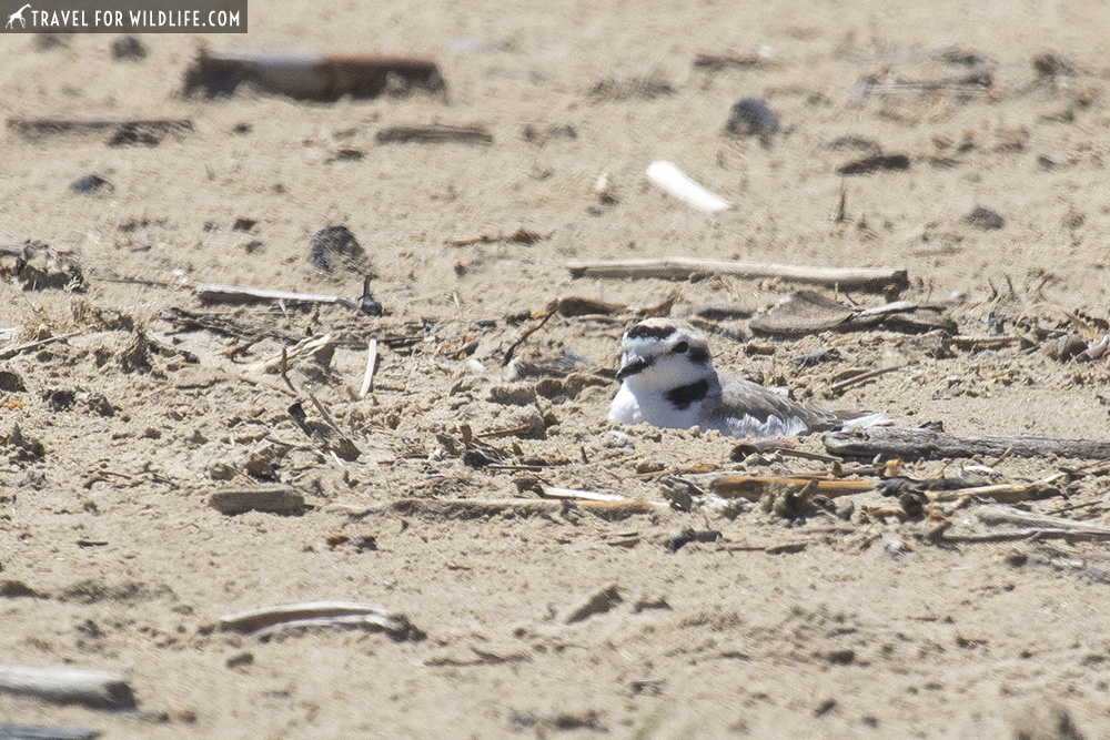 Snowy plover nesting on sand