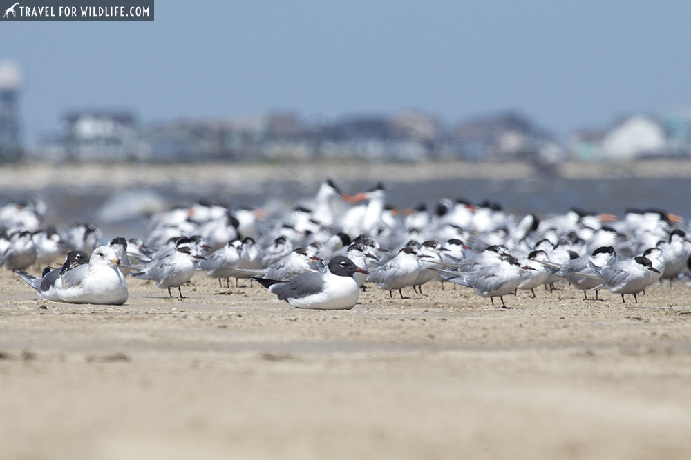 mixed flock of terns and gulls on the beach