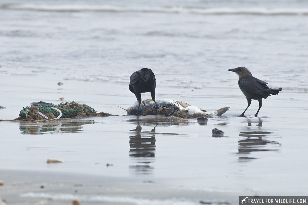 two blackbirds feeding on a catsfish next to a discarded net