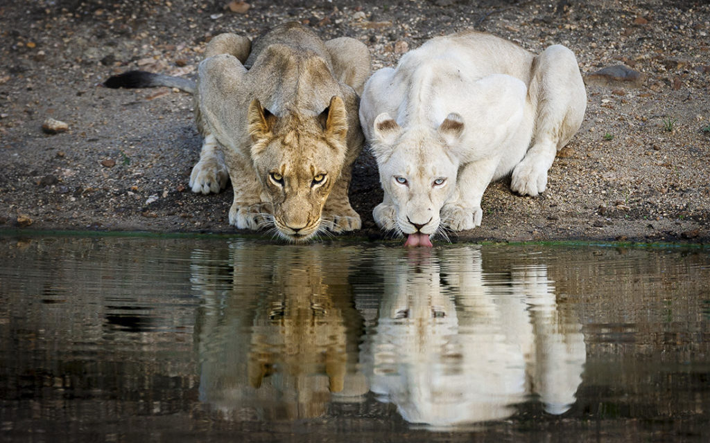A white lion and a lion drinking at a waterhole