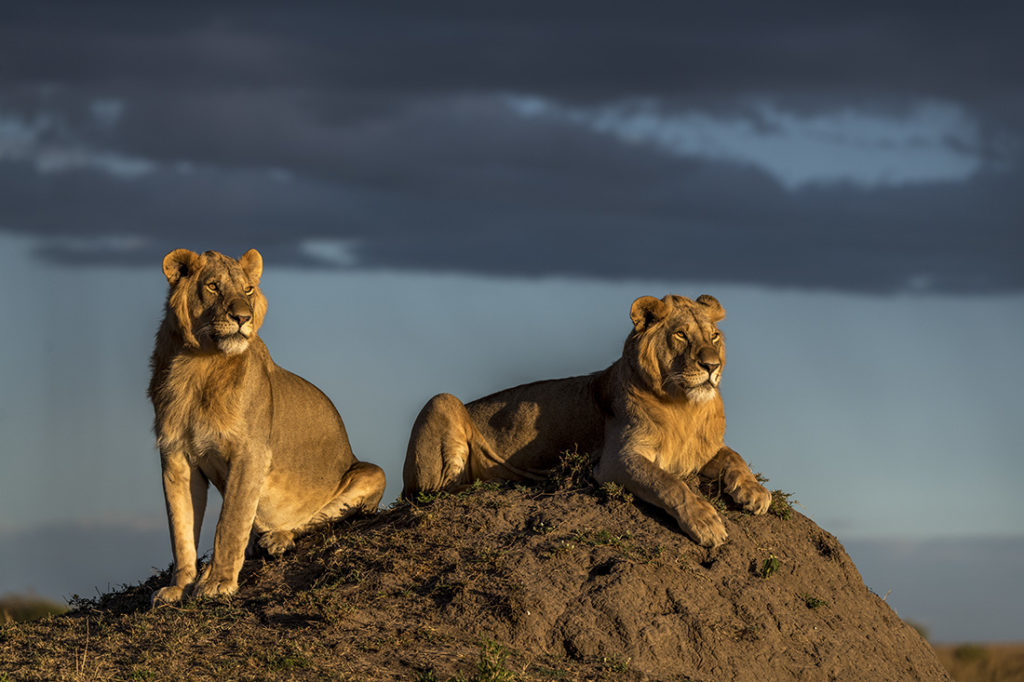 Two lions at sunset
