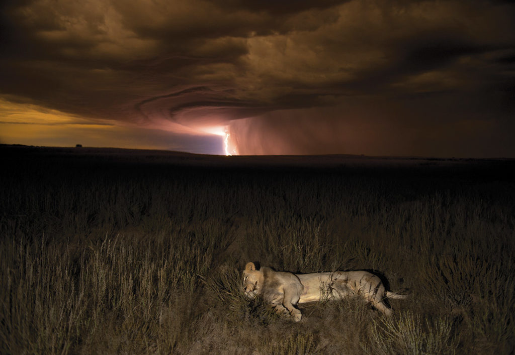 A lioness in a thunderstorm