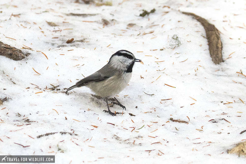 Chickadee in the snow