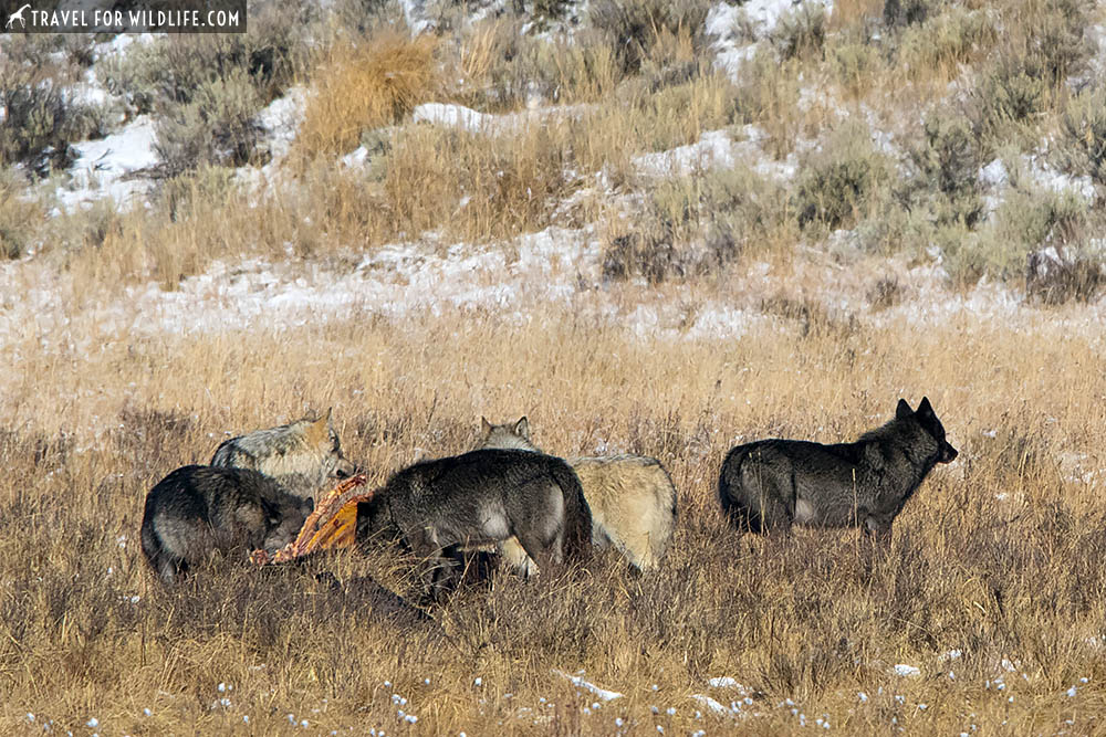 Pack of Yellowstone wolves at a bison carcass