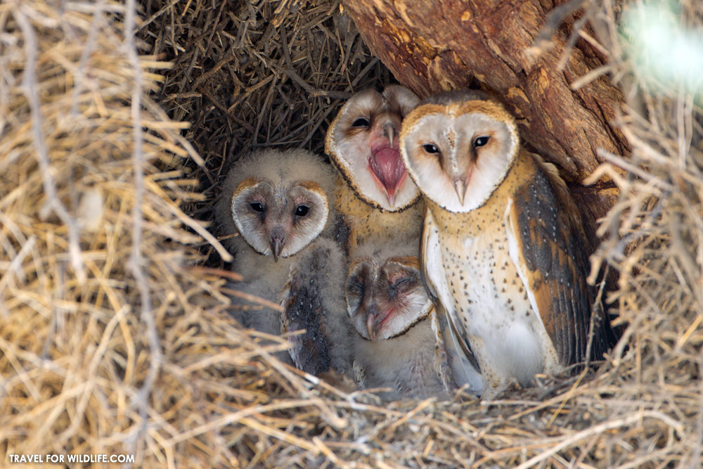 barn owl's nest
