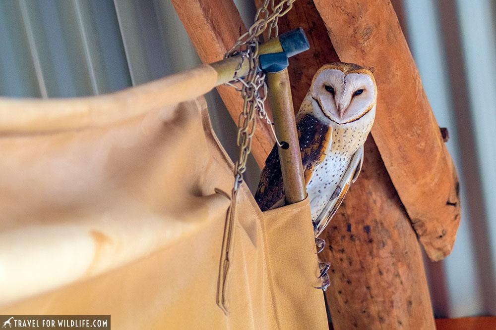 barn owl, Tyto alba, South Africa