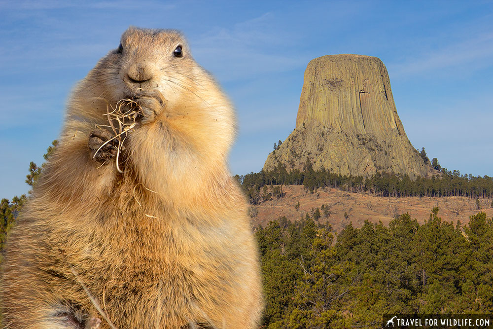 Devils Tower close encounters with prairie dogs