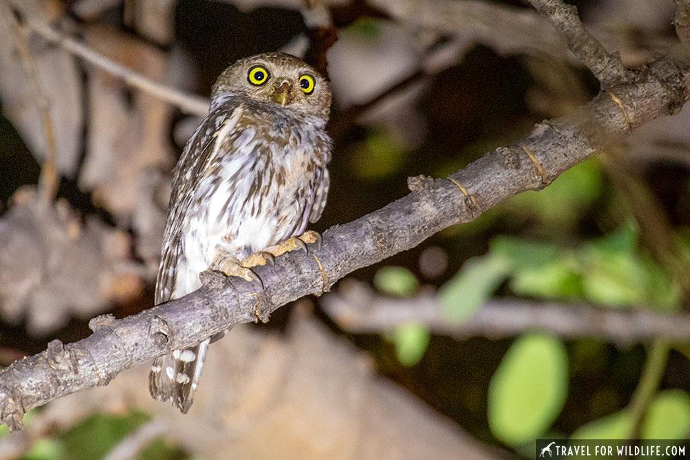 owl images. pearl spotted owlet, Glaucidium perlatum