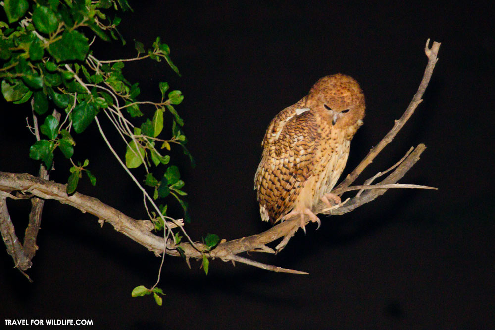 Pels fishing owl, Kruger