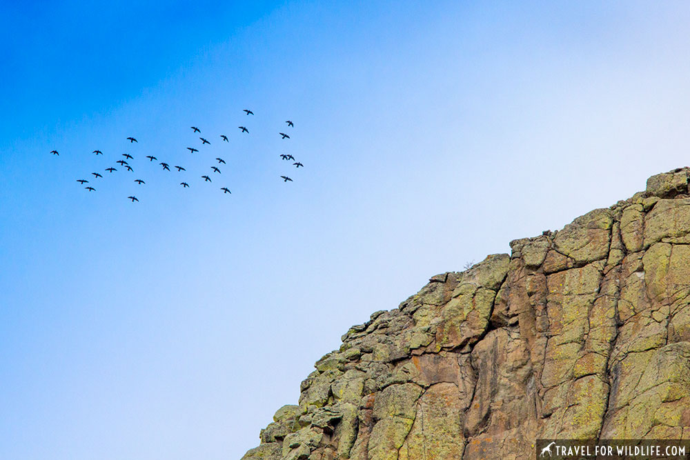 pigeons circling devils tower