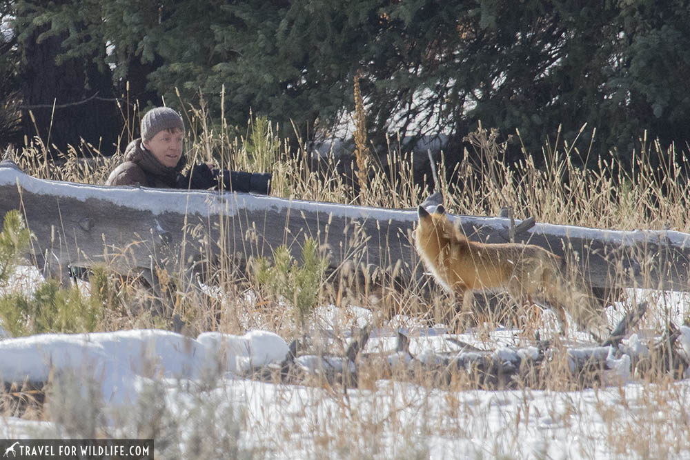 Red fox staring at photographer