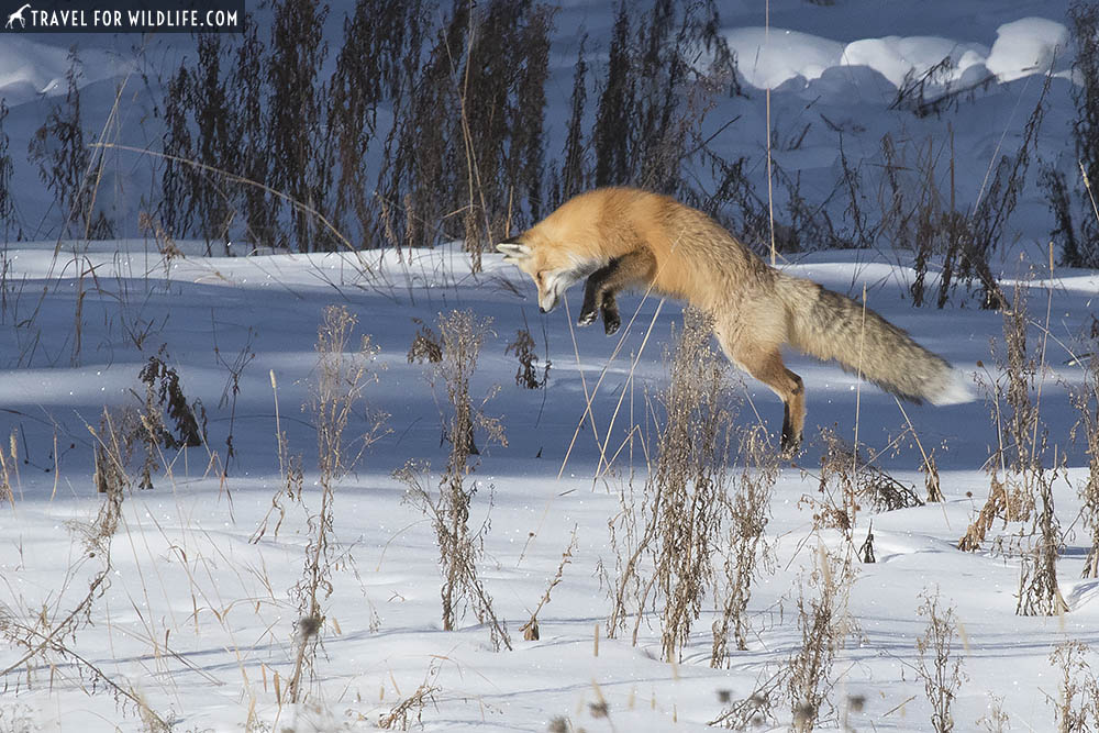 Red fox pouncing on the snow