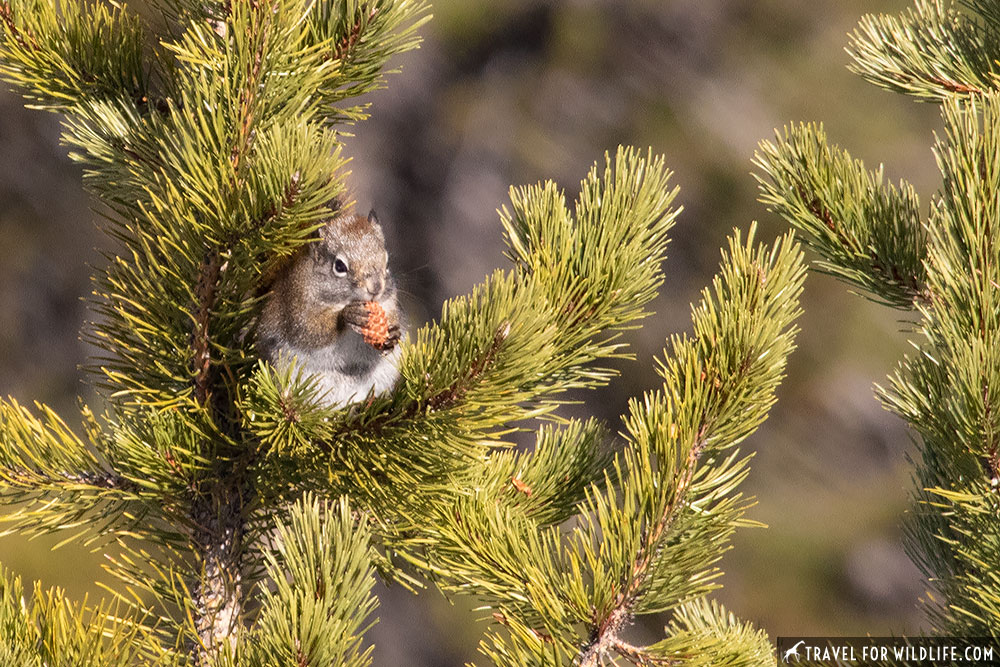 a red squirrel with a pine cone, a staple of fall in Yellowstone wildlife