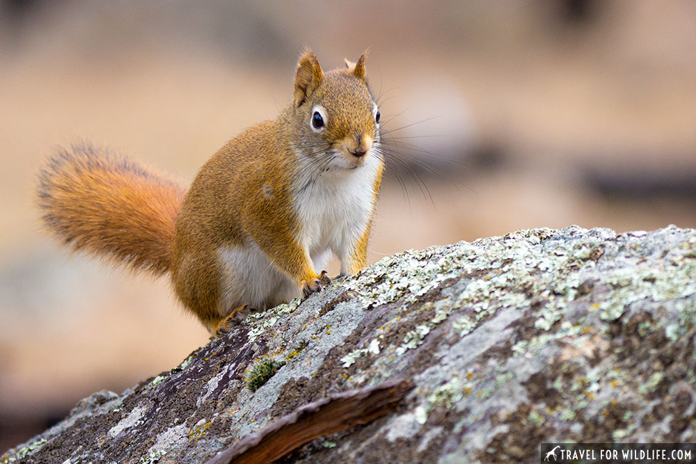 red squirrel devils tower wildlife