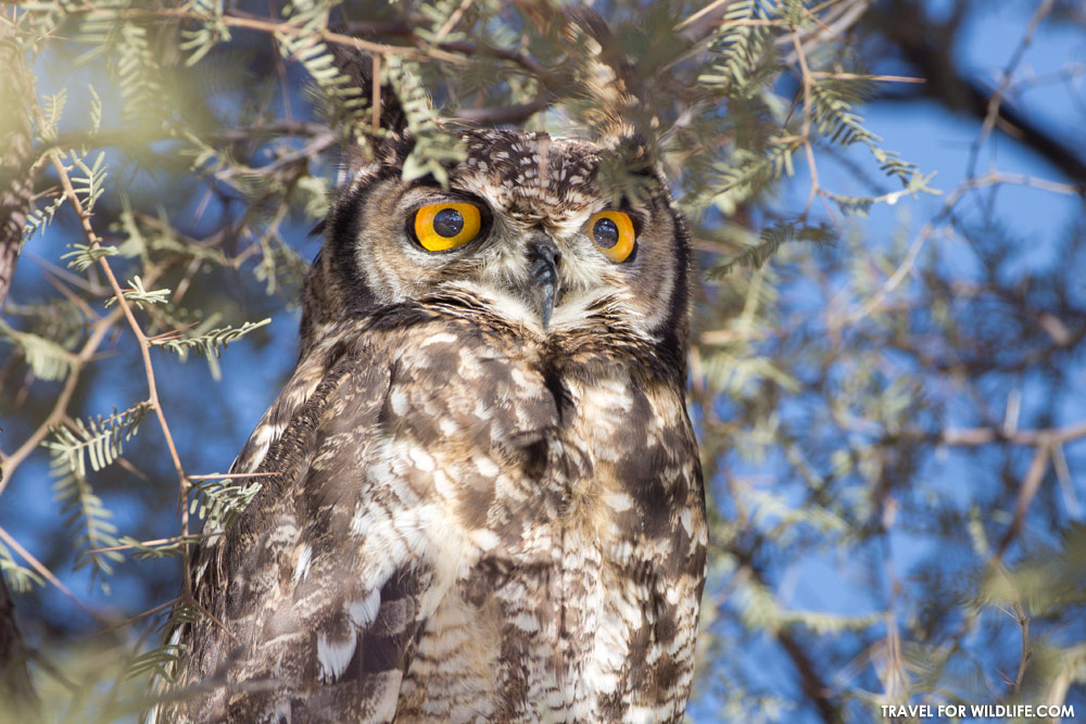 owl photos. Spotted eagle owl