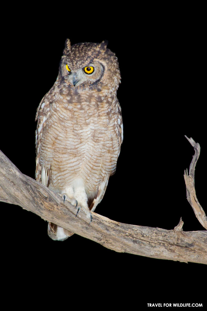 spotted eagle owl, Bubo africanus