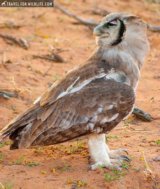 Verreaux's eagle owl, Bubo lacteus