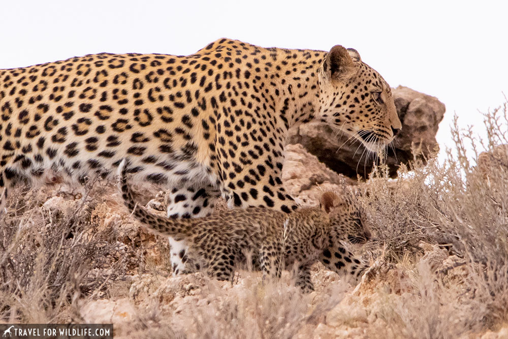 mother leopard with a leopard cub