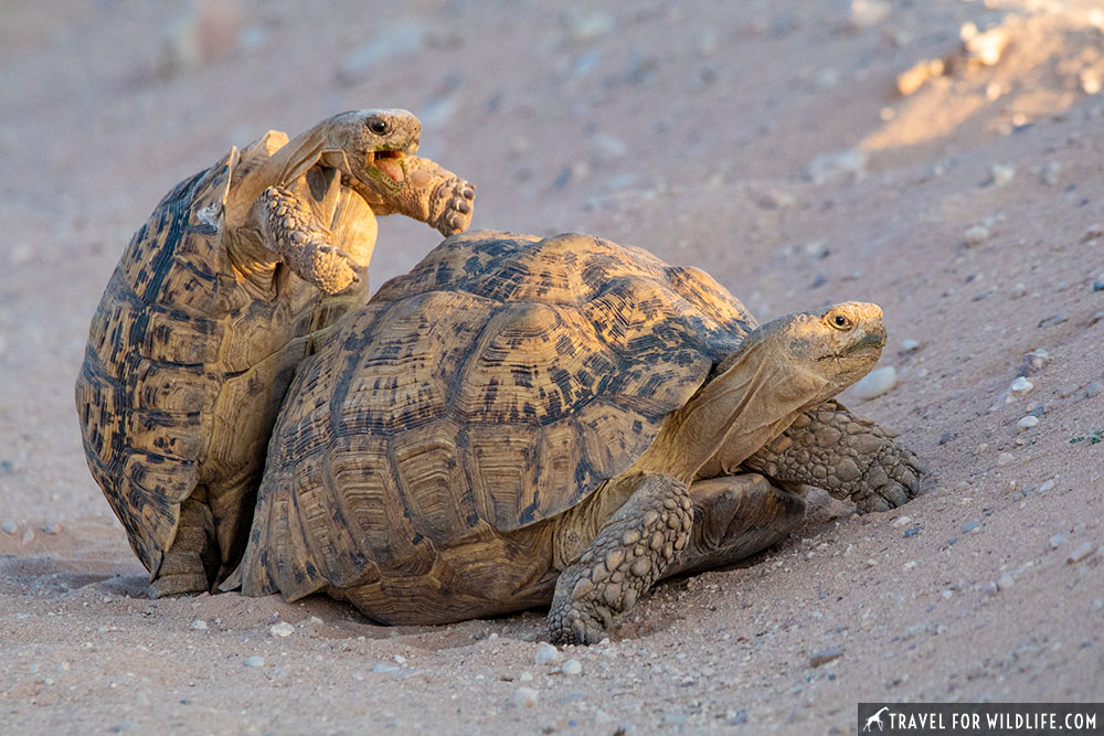 Leopard tortoises mating in the Kgalagadi