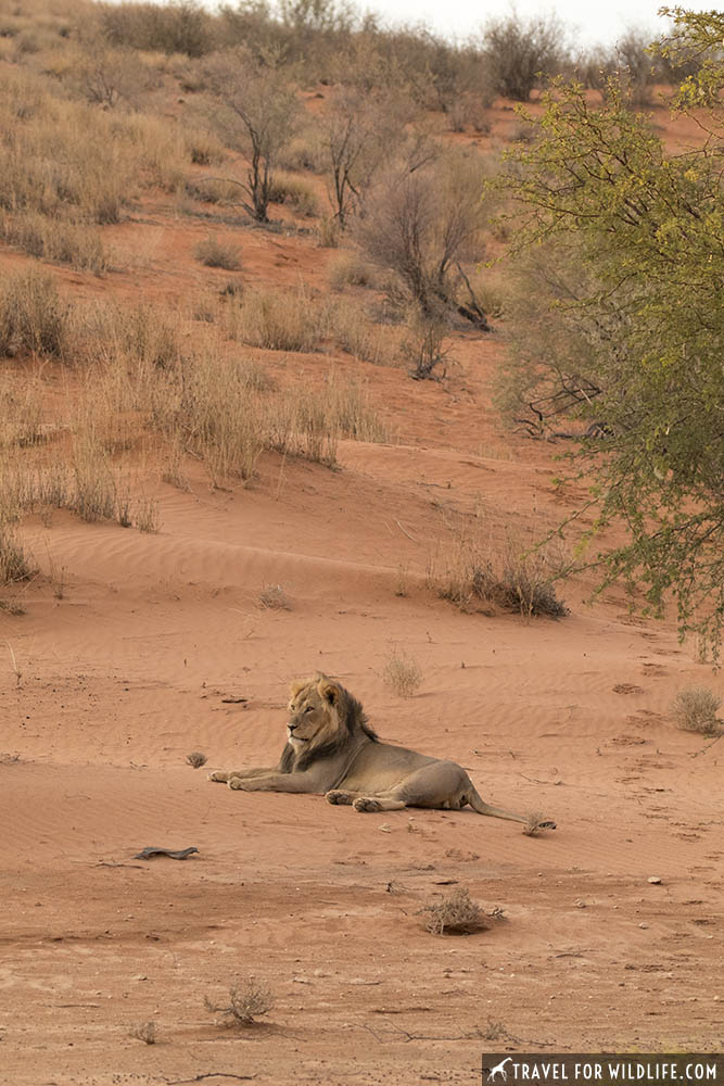 lion resting on a dune