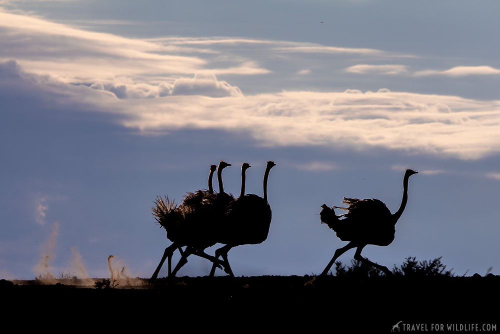 ostriches running in the Kgalagadi Transfrontier Park