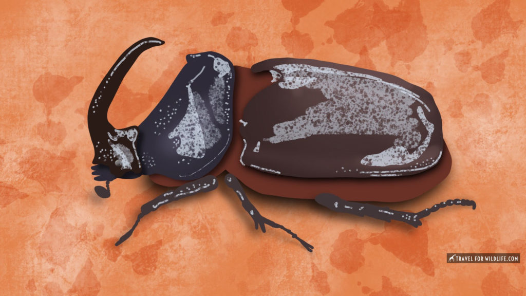 Rhino beetle illustration