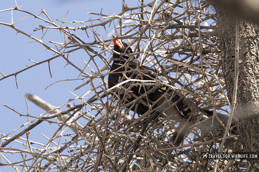 Red-billed buffalo weaver on a stick nest