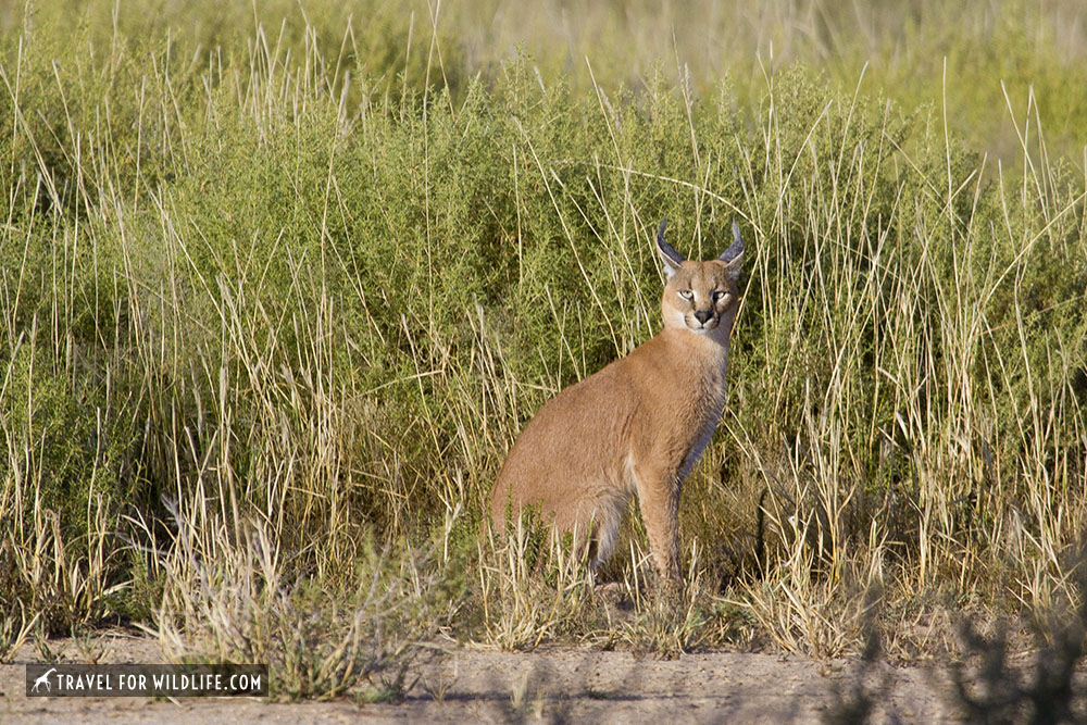 caracal sitting by the grass