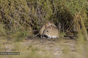two elephant shrews by a bush