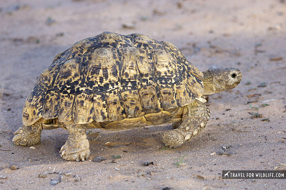 leopard tortoise walking on sand