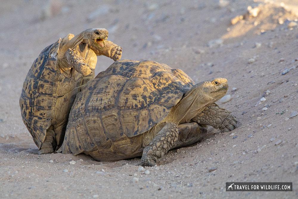 Leopard tortoises mating