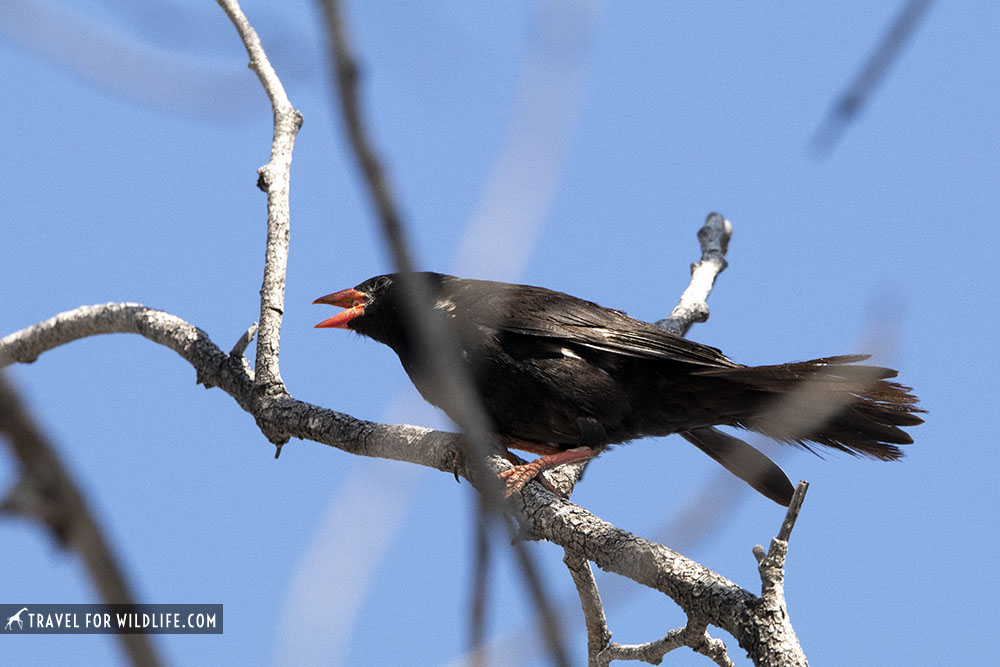Red-billed buffalo weaver calling